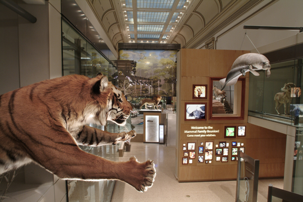 Tiger in NMNH's Mammal Hall