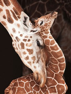 Rothschild Giraffes, Barbara von Hoffman, Nature's Best Photography