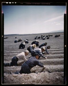 Japanese American laborers at Tule Lake War Relocation Center. (Library of Congress)
