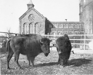 Bison roam around the Smithsonian Castle