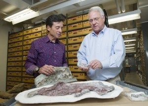 Paleontologists Louis Jacobs, SMU, and Anthony Fiorillo, Perot Museum, have identified a new species of marine mammal from bones recovered from the Aleutian island Unalaska in the North Pacific. (Hillsman Jackson, SMU)