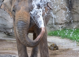 Asian elephant spraying water on itself with its trunk