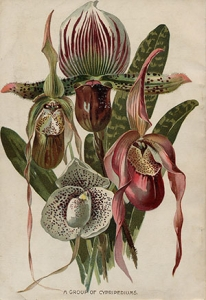A group of Cypripediums from Pitcher and Manda