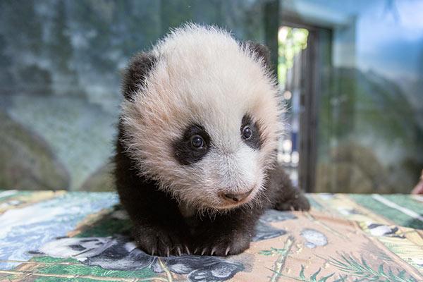 Giant panda cub Xiao Qi Ji